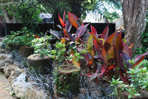 vireya in punga pots with canna