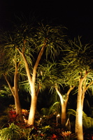 grouping of well lit Aloe bainsii in the garden
